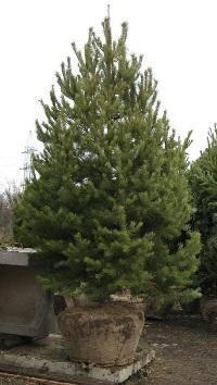 Посадка деревьев крупномеров